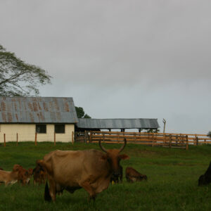 Cattle-and-barn